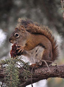 220px-American_squirrel_eating_nut,_13_Jun_2013