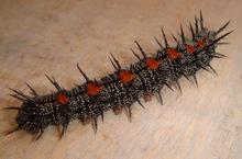 220px-Nymphalis-antiopa-caterpillar