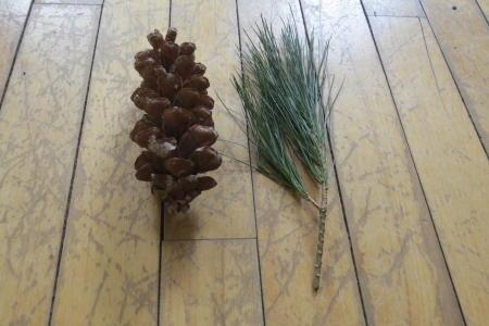 White Pine / Pin blanc