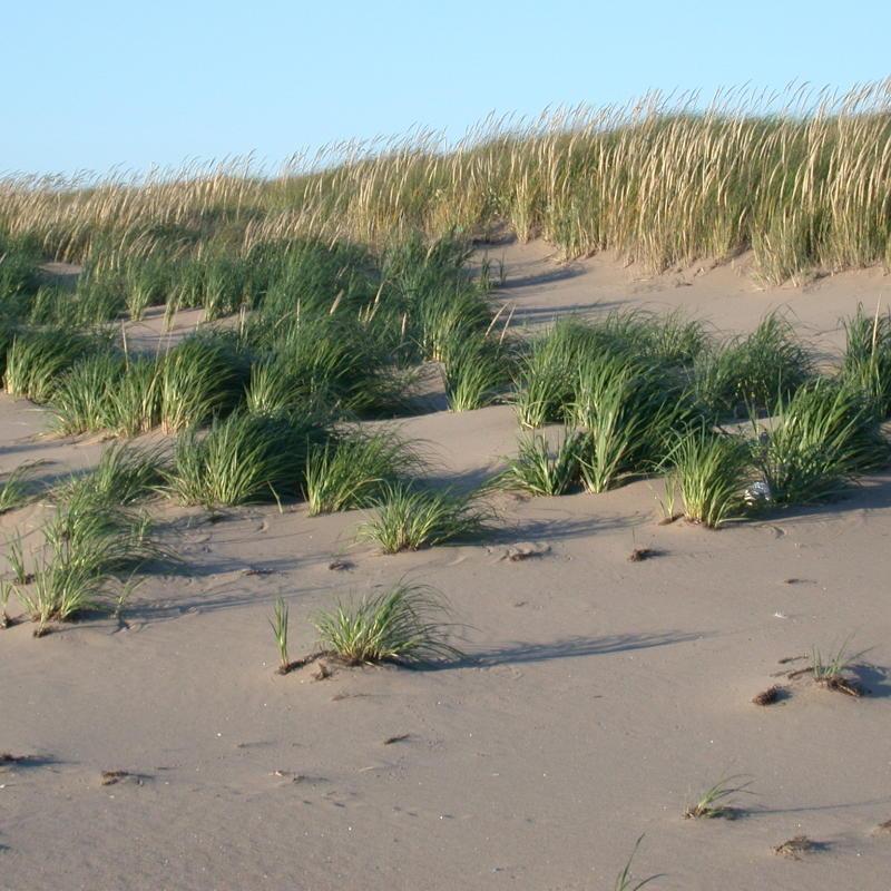 Marram Grass