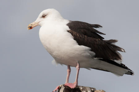 Great Black-backedPM Gull