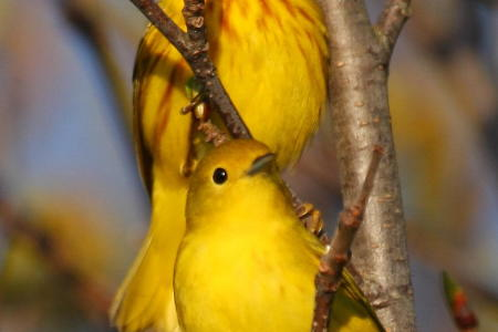 YELLOW WARBLER MC