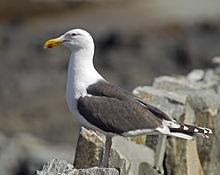 220px-Great_Black-backed_Gull_Larus_marinus