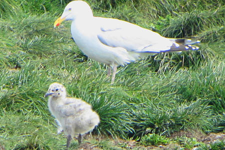 750px-Herring_Gull_and_chick,_NL
