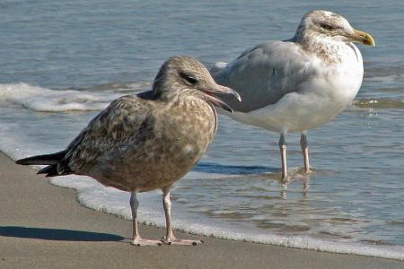 800px-American_Herring_Gull_(Larus_smithsonianus)_RWD3