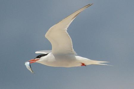 800px-Common_tern_with_fish