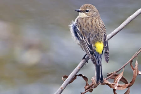 Yellow_rumped_warbler_-_natures_pics