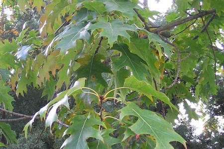 Quercus_rubra_1